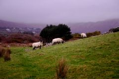 sheep on Sheepshead Way