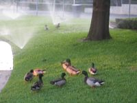mallards enjoying sprinkler