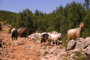 Keçiler (goats) on Lycian Way
