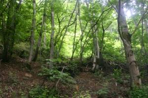 Forest primeval?