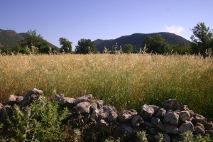 Barley in the Bezirgan yayla