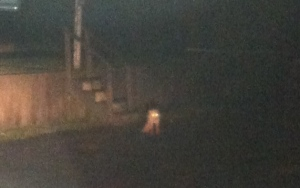 Blurry fox, Wellfleet marina