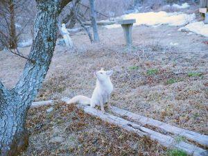 White fox, Truro, by Desmond  Tetrault