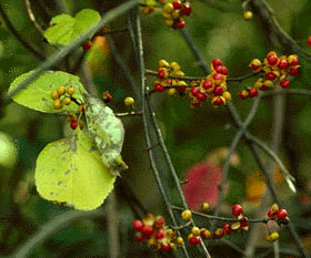 Celastrus orbiculatus (Oriental bittersweet)