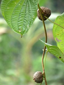 Dioscorea bulbifera (air potato)