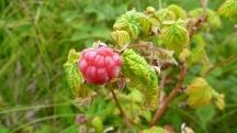 Bakeapple (cloudberry)