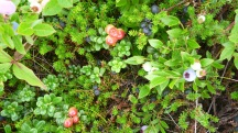 Blueberry, Bearberry