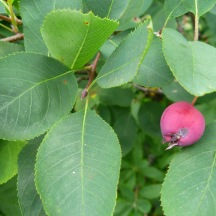 Chuckle-berry (amelanchier)