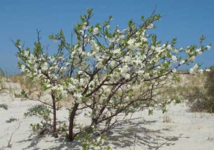 Beach plum on dune