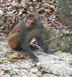 Asami monkey