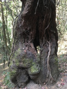Huge, old oaks