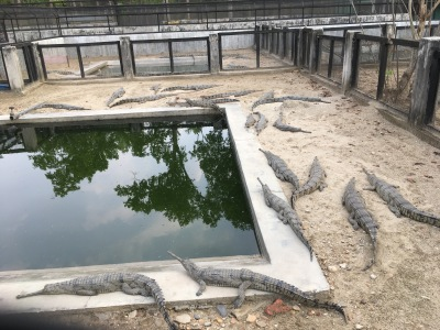 Gharials at the conservation center